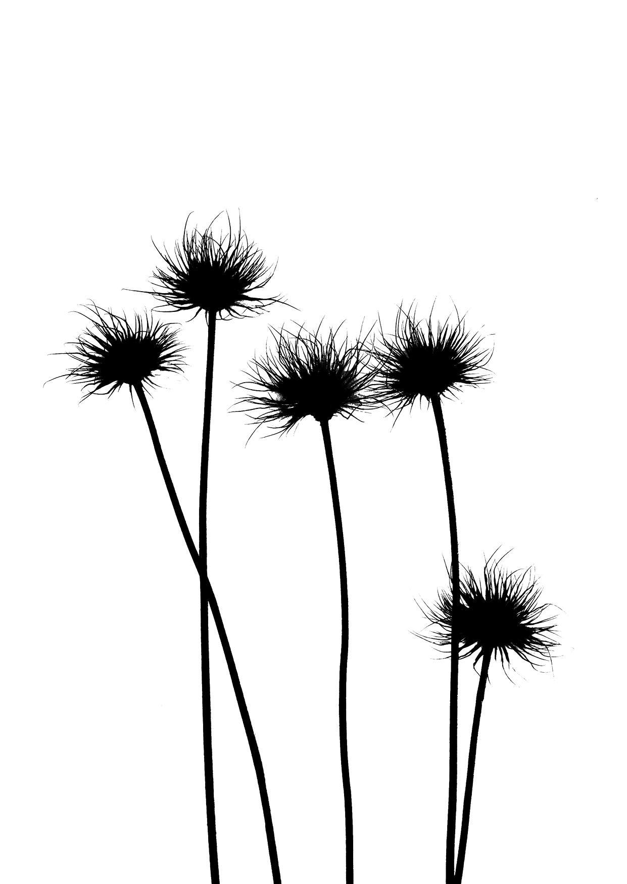 Bettina Lindenberg Postkarten schwarz-weiß Natur Fotokunst Kunstpostkarten, Deko, Küchenschelle