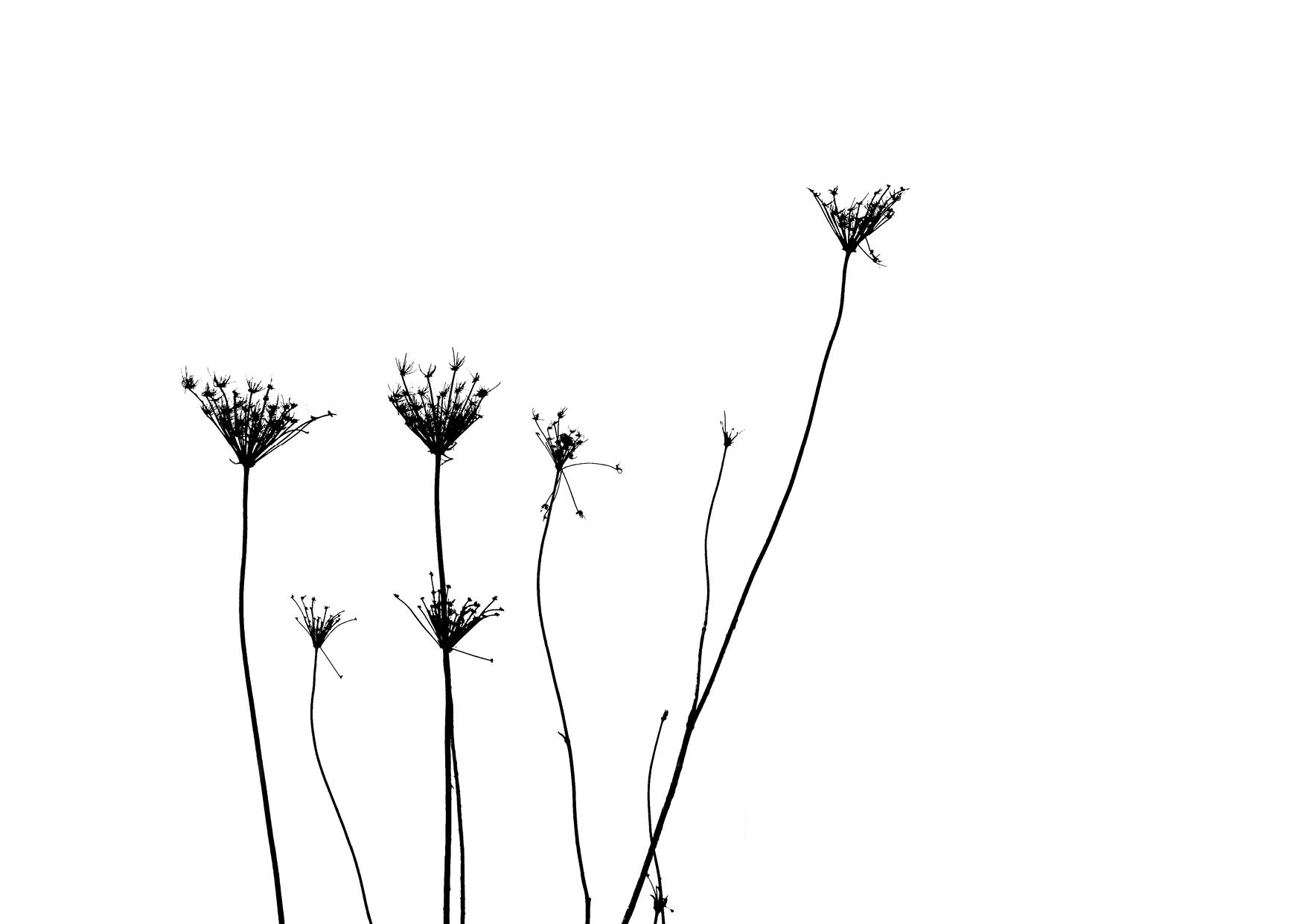 Bettina Lindenberg Postkarten schwarz-weiß Natur Fotokunst Kunstpostkarten, Deko, Wilde Möhre